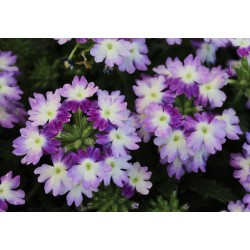 Verbena Blue white