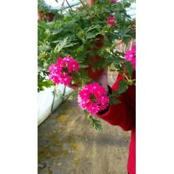 Verbena Rose
