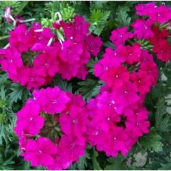 Verbena Magelana Hot rose