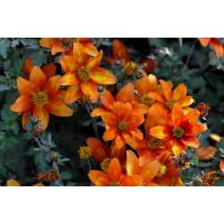 Lakišius - bidens - orandžinis
