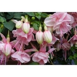 Fuksija (Fuchsia Claudia)