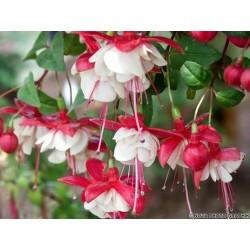Fuksija (Fuchsia Sir Mat...