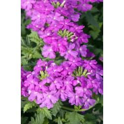 Verbena Lilac