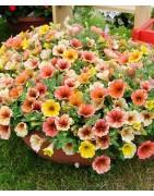 Vienmetės gėlės