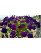 Svyrančios gėlės ir kiti svyrantys augalai