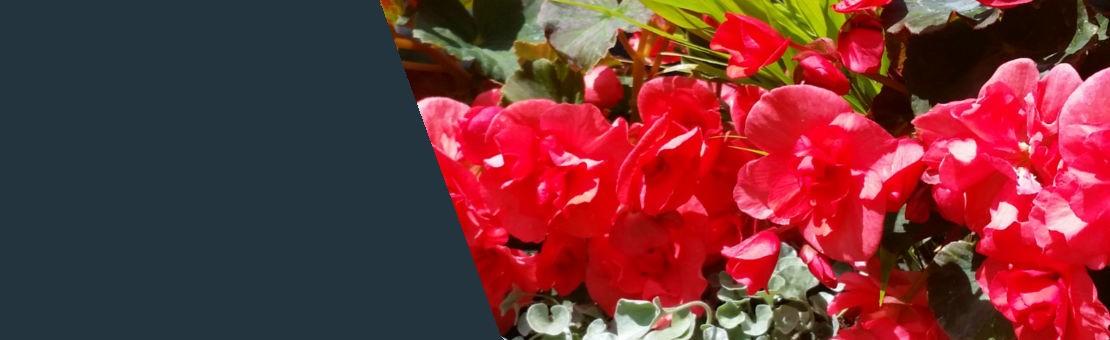 Kvepiančios begonijos